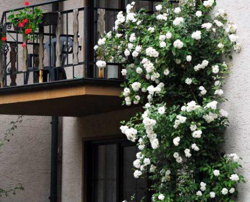 Rosen am Balkon